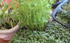 Всё про мини-зелень: свойства, применение, выращивание
